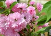 胡家湾樱花园 宜昌当阳旅游景点半月胡家湾樱花园,宜昌观赏樱花好地方