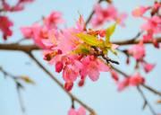 三月到宜昌枝江问安同心花海看樱花,宜昌樱花观赏地同心花海
