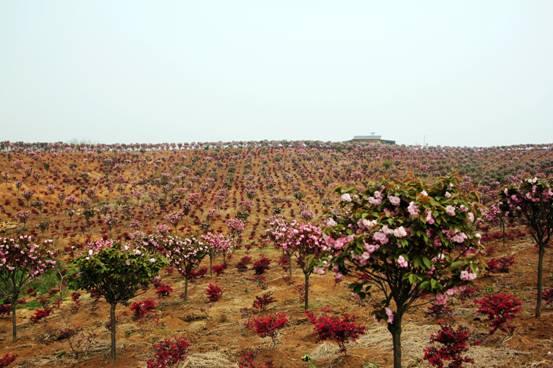 当阳乡村旅游火爆,胡家湾樱花园成为四月旅游亮点