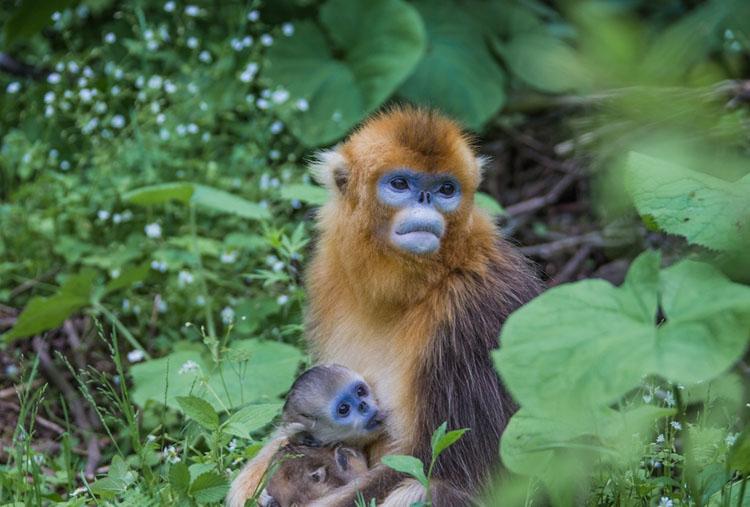 到神农架观赏金丝猴,旅游生态宝库神农架国内金丝猴观赏目的地